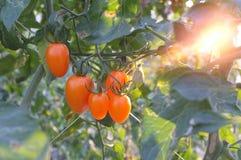 Verse tomaat in het landbouwbedrijf Royalty-vrije Stock Foto