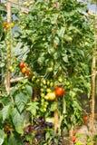 Verse tomaten die in de serre rijpen Stock Foto's