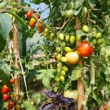 Verse tomaten die in de serre rijpen Stock Foto