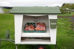 Verse tomaten voor Ijslandse Kroon 300 Royalty-vrije Stock Afbeeldingen