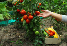 Verse Tomatenplant Stock Afbeelding