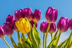 Verse tulpen Stock Afbeelding