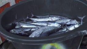Verse vangende makreelvissen in vissersboot Sluit omhoog verse vangst in boot terwijl visserij in zeewater stock video