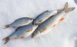 Verse vangst - kopvoorn en voorns Royalty-vrije Stock Foto