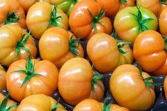 Verse verzamelde tomaten in de serre. Royalty-vrije Stock Afbeelding