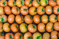 Verse verzamelde tomaten in de serre. Stock Foto's