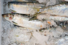 Verse Vissen Stock Afbeelding