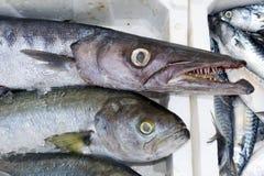 Verse vissen - barracuda Stock Foto's