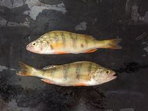 Verse Vissen De verse toppositie van riviervissen Op een zwarte achtergrond Vrij stock foto