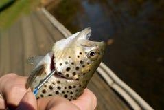 Verse vissen gezet op langsligger Stock Foto