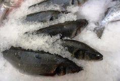 Verse vissen in ijskruimel royalty-vrije stock afbeeldingen