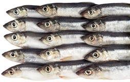 Verse vissen op een witte achtergrond Royalty-vrije Stock Afbeeldingen
