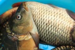 Verse vissen voor maaltijd Stock Foto