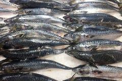 Verse vorst bevroren Saba Mackerel-vissen stock afbeelding