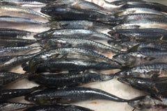Verse vorst bevroren Saba Mackerel-vissen stock afbeeldingen
