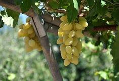 Verse vruchten, druiven Stock Afbeeldingen