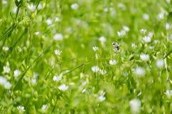 Verse weide met kleine witte bloemen en insecten Royalty-vrije Stock Foto's