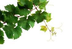 Verse wijnstok Royalty-vrije Stock Afbeeldingen