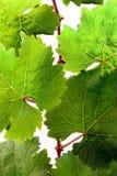 Verse wijnstok in detail Royalty-vrije Stock Foto's