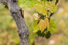 Verse wijnstokbladeren in de lente Royalty-vrije Stock Foto