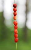 Verse Wilde Aardbeien Royalty-vrije Stock Afbeelding