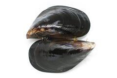 Verse wilde geoogste zwarte mosselen Stock Afbeelding