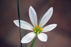 Verse witte bloem op de donkere achtergrond Stock Foto's