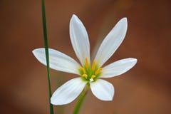Verse witte bloem op de donkere achtergrond Royalty-vrije Stock Foto