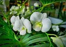 Verse Witte Orchideeën op Groene Bladerenachtergrond Stock Foto