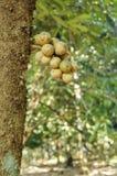 Verse wollongongvruchten op boom Stock Fotografie