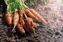 Verse wortelen met greens ter plaatse Ongewassen wortelen in het tuinclose-up Selectieve nadruk royalty-vrije stock foto's