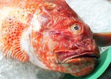 Verse zeevruchten - dichte mening van rode scorpionfish (Scorpaena-scrofa) bij Spaanse zeevruchtenmarkt Stock Fotografie