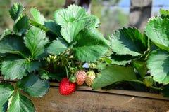 Verse Zoete Aardbeienvruchten gloed in de Bamboebuis stock foto's