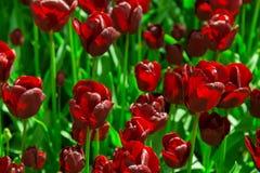Verse zwarte tulpen op het bloembedclose-up Stock Afbeeldingen