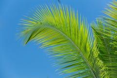 Versehen Sie das Schauen von flaumigen Palmblättern gegen blauen Himmel mit Federn Stockfotografie