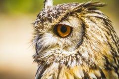 Versehen Sie, schöne Eule mit intensiven Augen und schönes Gefieder mit Federn Lizenzfreie Stockfotografie
