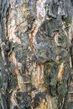 Versengter Barkenabschluß oben, Hintergrund Stockfoto