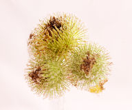Versenkte Samen-Köpfe umfasst in den Blasen Stockbild