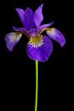 Versicolor iris Stock Foto's