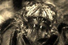 Versicolor tarantulacaribena royalty-vrije stock afbeelding