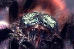Versicolor tarantulacaribena stock afbeeldingen