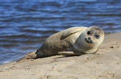 Versiegeln Sie das ein Sonnenbad nehmen auf der heiligen Insel von Lindisfarne stockbild