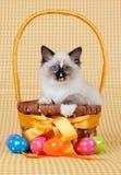 Versiegeln Sie das Punkt Ragdoll Kätzchen, das im Ostern-Korb sitzt Lizenzfreies Stockfoto