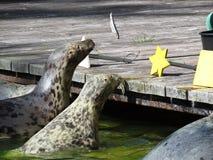 Versiegeln Sie Lea Lion Head während der Fütterung an Kai-anziehenden Fischen in einer Luft beim Fliegen stockfotografie