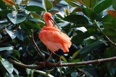 Versieht Scharlachrot IBIS-Vogel, derseins putzt, die Tropen mit Federn Lizenzfreie Stockfotos