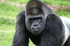 Versilbern Sie rückseitige Gorillanahaufnahme am Fort- Worthzoo Stockbild