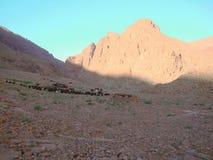 Version 1 de bétail d'atlas photographie stock