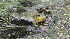 Version 2-Frog i dammet, naturvårdsområde, Niagara Falls, Kanada Arkivfoto
