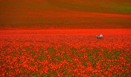 Garden chair on red poppy fields. royalty free stock photography