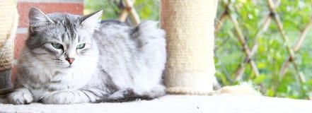 Version sibérienne d'argent de chat Photos stock
